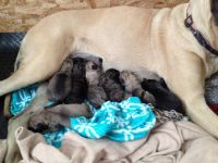 English Mastiff Puppies for sale in Marion, IN, USA. price: NA