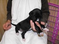 English Mastiff Puppies for sale in Butternut, WI 54514, USA. price: NA