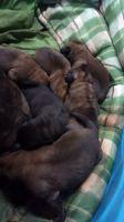 English Mastiff Puppies for sale in Hamilton, OH, USA. price: NA