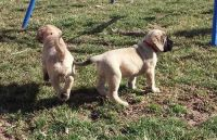 English Mastiff Puppies for sale in San Francisco, San Antonio, TX 78201, USA. price: NA