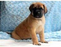 English Mastiff Puppies for sale in San Francisco, CA, USA. price: NA