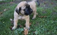 English Mastiff Puppies for sale in CA-1, Mill Valley, CA 94941, USA. price: NA