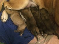 English Mastiff Puppies for sale in Mt Vernon, OH 43050, USA. price: NA