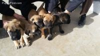 English Mastiff Puppies for sale in Nappanee, IN 46550, USA. price: NA