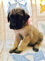 English Mastiff Puppies for sale in Joplin, MO, USA. price: NA