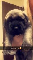 English Mastiff Puppies for sale in Cushing, OK 74023, USA. price: NA