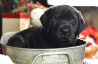 English Mastiff Puppies for sale in Hinckley, MN 55037, USA. price: NA