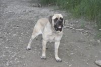 English Mastiff Puppies for sale in Roachdale, IN 46172, USA. price: NA