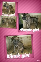 English Mastiff Puppies for sale in Linton, IN 47441, USA. price: NA