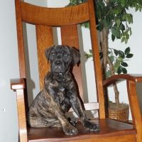 English Mastiff Puppies for sale in Canton, OH, USA. price: NA