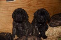 English Mastiff Puppies for sale in Warrenton, VA, USA. price: NA