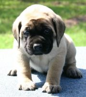 English Mastiff Puppies for sale in Brooksville, FL 34601, USA. price: NA