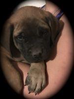 English Mastiff Puppies for sale in Lampasas, TX 76550, USA. price: NA
