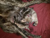 English Mastiff Puppies for sale in Springfield, OH, USA. price: NA