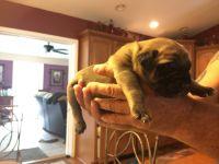 English Mastiff Puppies for sale in Florida 34473, USA. price: NA
