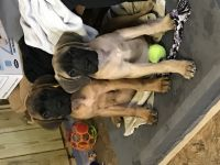 English Mastiff Puppies for sale in Fort Wayne, IN, USA. price: NA