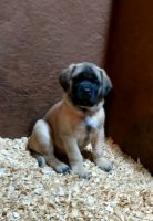 English Mastiff Puppies for sale in Hollow Rock, TN 38342, USA. price: NA