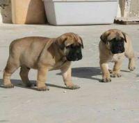 English Mastiff Puppies for sale in Richmond, VA, USA. price: NA