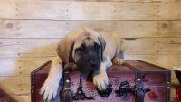 English Mastiff Puppies for sale in Broken Bow, OK 74728, USA. price: NA