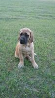 English Mastiff Puppies for sale in Montezuma, GA 31063, USA. price: NA