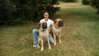 English Mastiff Puppies for sale in Angola, IN 46703, USA. price: NA
