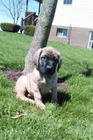 English Mastiff Puppies for sale in Millersburg, OH 44654, USA. price: NA