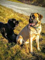 English Mastiff Puppies for sale in Milwaukee, WI 53207, USA. price: NA