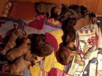 English Mastiff Puppies for sale in Van Wert, OH 45891, USA. price: NA