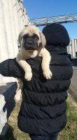 English Mastiff Puppies for sale in Miami Gardens, FL, USA. price: NA