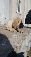 English Mastiff Puppies for sale in Los Angeles, CA, USA. price: NA