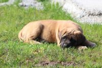 English Mastiff Puppies for sale in Plummer, ID 83851, USA. price: NA