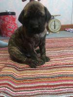 English Mastiff Puppies for sale in Peru, IN 46970, USA. price: NA