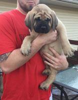 English Mastiff Puppies for sale in Dothan, AL 36301, USA. price: NA