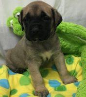 English Mastiff Puppies for sale in Abilene, Houston, TX 77020, USA. price: NA