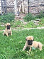 English Mastiff Puppies for sale in Yukon, OK 73099, USA. price: NA
