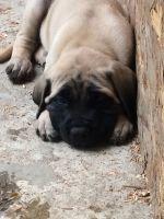 English Mastiff Puppies for sale in Garrison, TX 75946, USA. price: NA