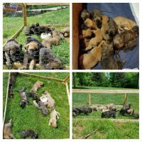 English Mastiff Puppies for sale in Borden, IN 47106, USA. price: NA