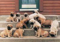 English Mastiff Puppies for sale in Las Vegas, NV, USA. price: NA