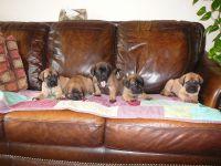 English Mastiff Puppies for sale in Atlas, MI 48411, USA. price: NA