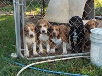 English Mastiff Puppies for sale in Hocking County, OH, USA. price: NA