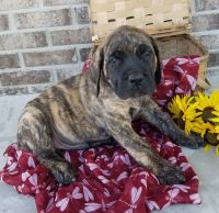 English Mastiff Puppies for sale in Spencerville, IN 46788, USA. price: NA