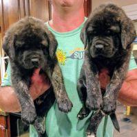 English Mastiff Puppies for sale in Caledonia, MI 49316, USA. price: NA