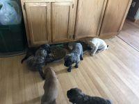 English Mastiff Puppies for sale in Hillman, MI 49746, USA. price: NA