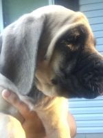 English Mastiff Puppies for sale in Loveland, OH 45140, USA. price: NA