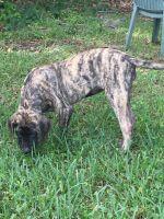 English Mastiff Puppies for sale in Inverness, FL, USA. price: NA