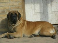 English Mastiff Puppies for sale in Caldwell, TX 77836, USA. price: NA