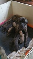 English Mastiff Puppies for sale in Loveland, OH, USA. price: NA