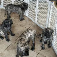 English Mastiff Puppies for sale in Hesperia, CA, USA. price: NA