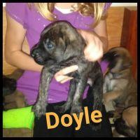English Mastiff Puppies for sale in Bridgeville, DE 19933, USA. price: NA