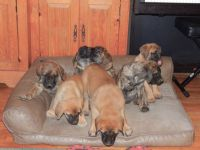 English Mastiff Puppies for sale in Lindrith, NM 87029, USA. price: NA
